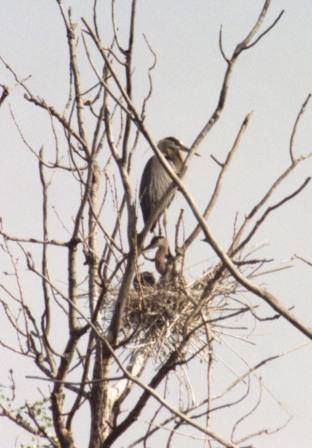 great-blue-heron-nest-1b1