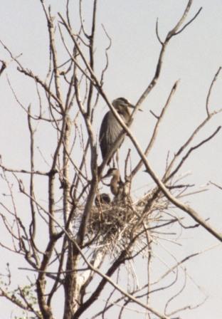 great-blue-heron-nest-1b1