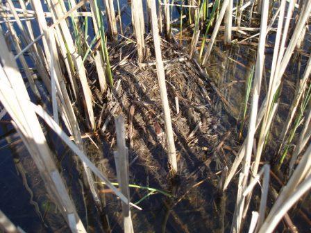 mallard-nest-predation-3b