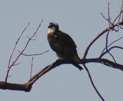 osprey-mayslake-cropped-b