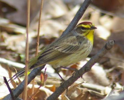 palm-warbler-b
