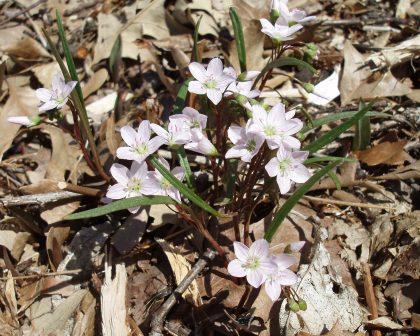 spring-beauty-1b
