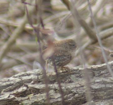 winter-wren-1b