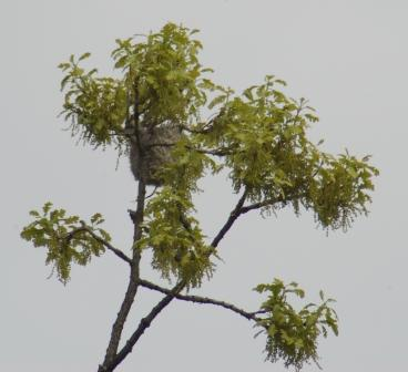 Baltimore oriole nest b
