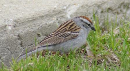 Chipping Sparrow 1b