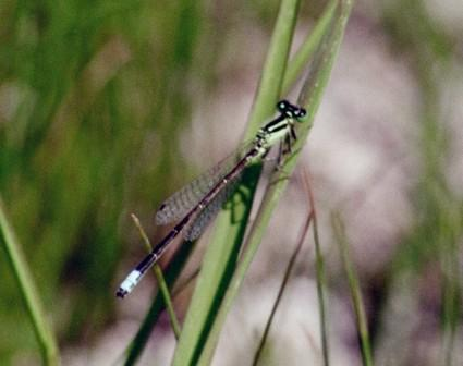 Eastern forktail male b