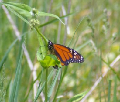 Monarch 2009 1b