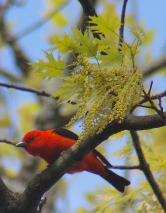 Scarlet tanager b