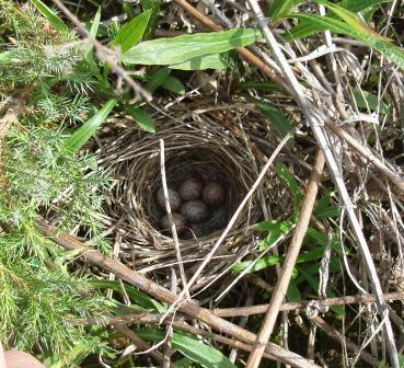 Song sparrow nest b