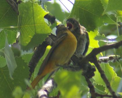 Baltimore oriole feeds cowbird b