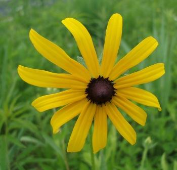 Black-eyed Susan b