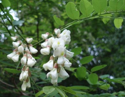 Black locust flowers b