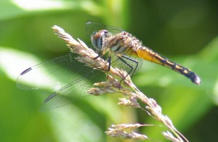 Blue dasher female 1b