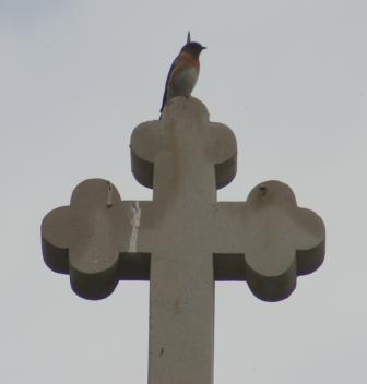 Bluebird cross b