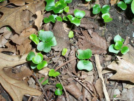 Buckthorn seedlings b