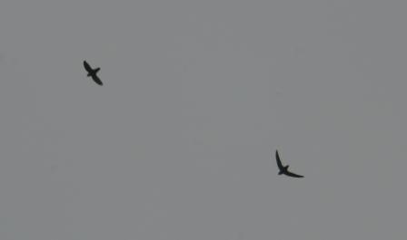 Chimney swift 1b
