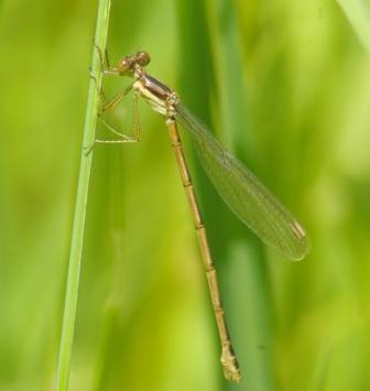 Common spreadwing female 3b