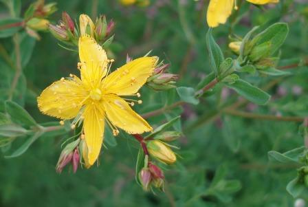 Common St John's wort b