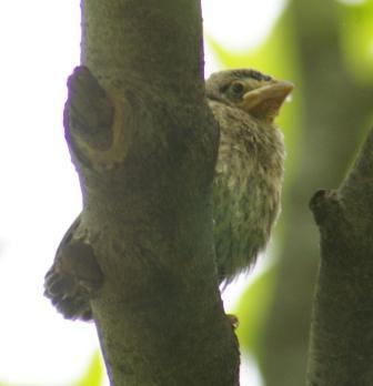 Cowbird fledgling 2b