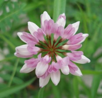 Crown vetch 1b