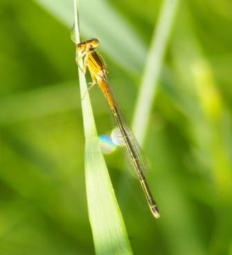 Eastern forktail new female b
