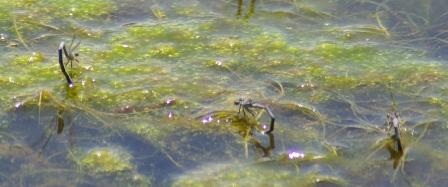 Eastern forktails laying eggs b