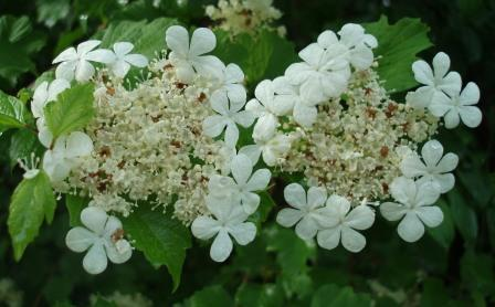 European highbush cranberry 2b