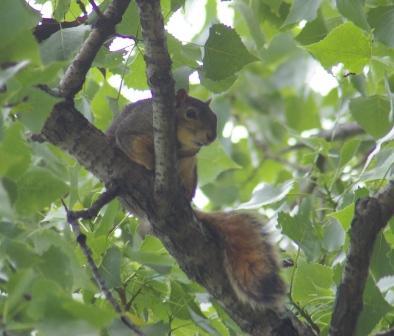 Fox squirrel worrying orioles b