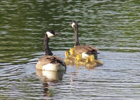 Goose family b