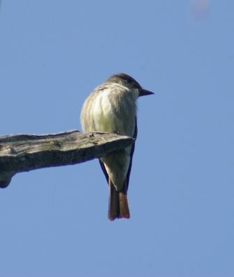 Olive-sided flycatcher 1b