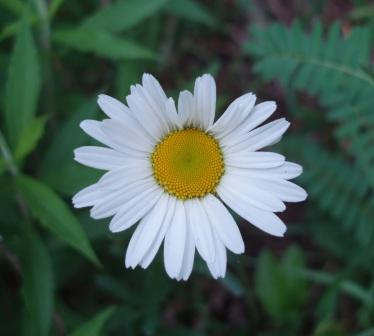 Ox-eye daisy b