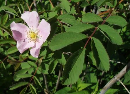 Pasture rose b