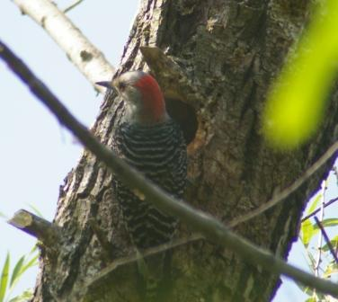 RB woodpecker mom at nest b