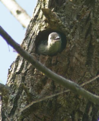 Rb woodpecker nestling 1b