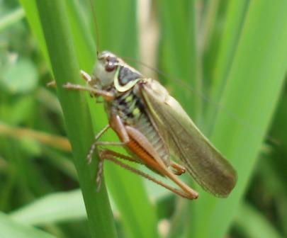 Roesel's katydid b