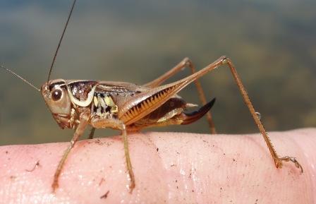 Roesel's katydid female 2b