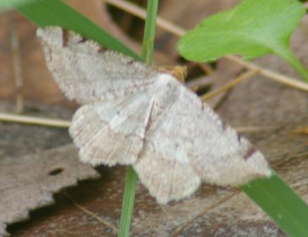 Semiothisa bisignata cropped b
