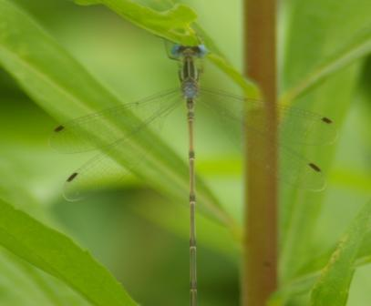 Slender spreadwing 1b