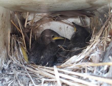 Starling nestlings b