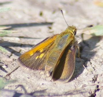 Tawny-edged skipper 2b