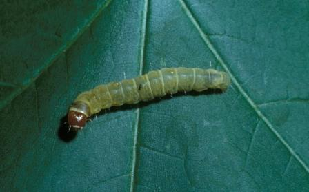 Tortricid caterpillar b