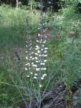 White wild indigo 2b
