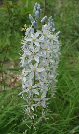 Wild hyacinth 2b