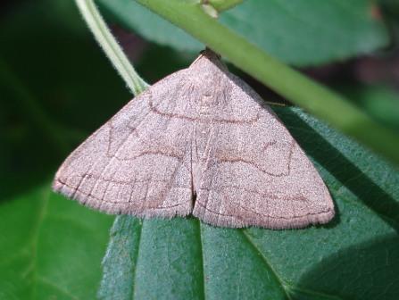 Zanclognatha cruralis b
