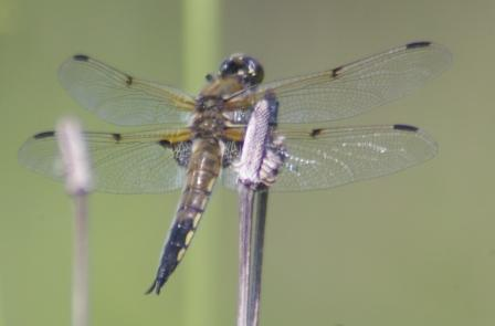 4-spotted skimmer 2b