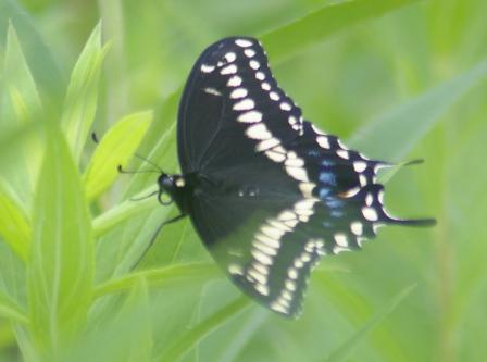 Black swallowtail male b