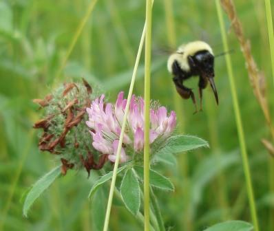 Bombus fervidus tongue b