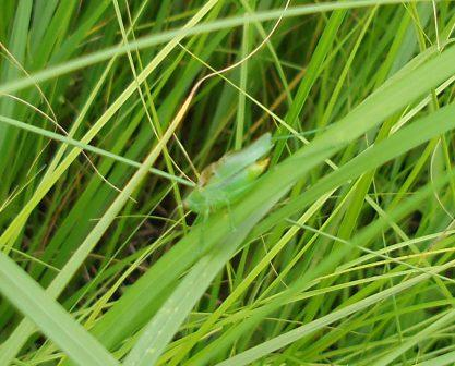 Common meadow katydid 1b