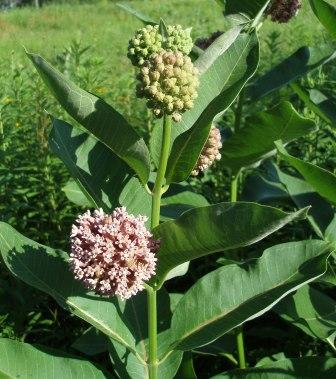 Common milkweed 1b