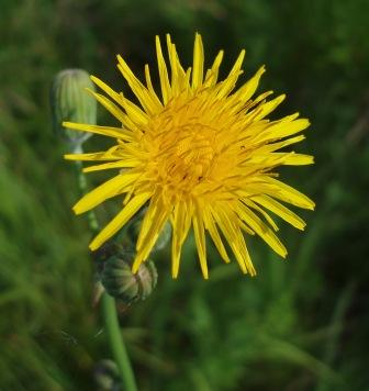 Common sow thistle b